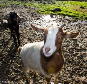 Small livestock