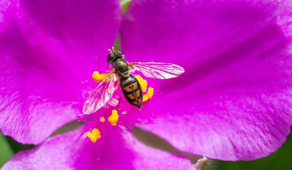fly on spiderwort