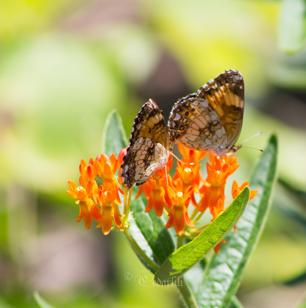 Three butterflies on Asclepias