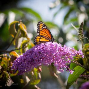 Monarch on Buddleia