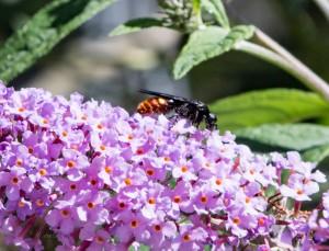 black and orange wasp