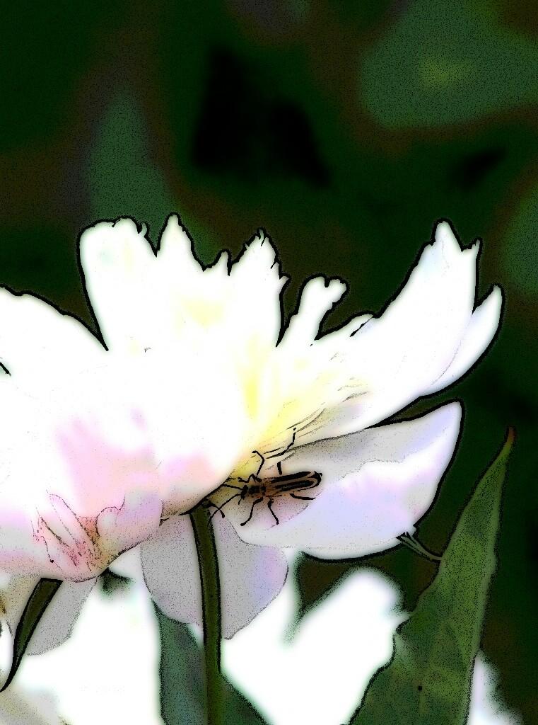 beetle on Peony