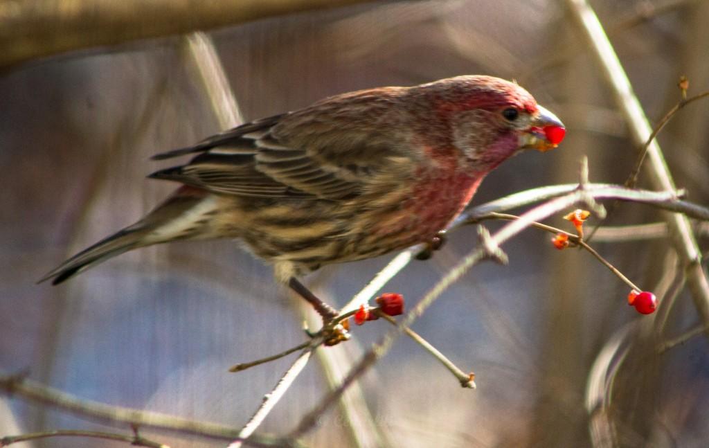House Finch feeding