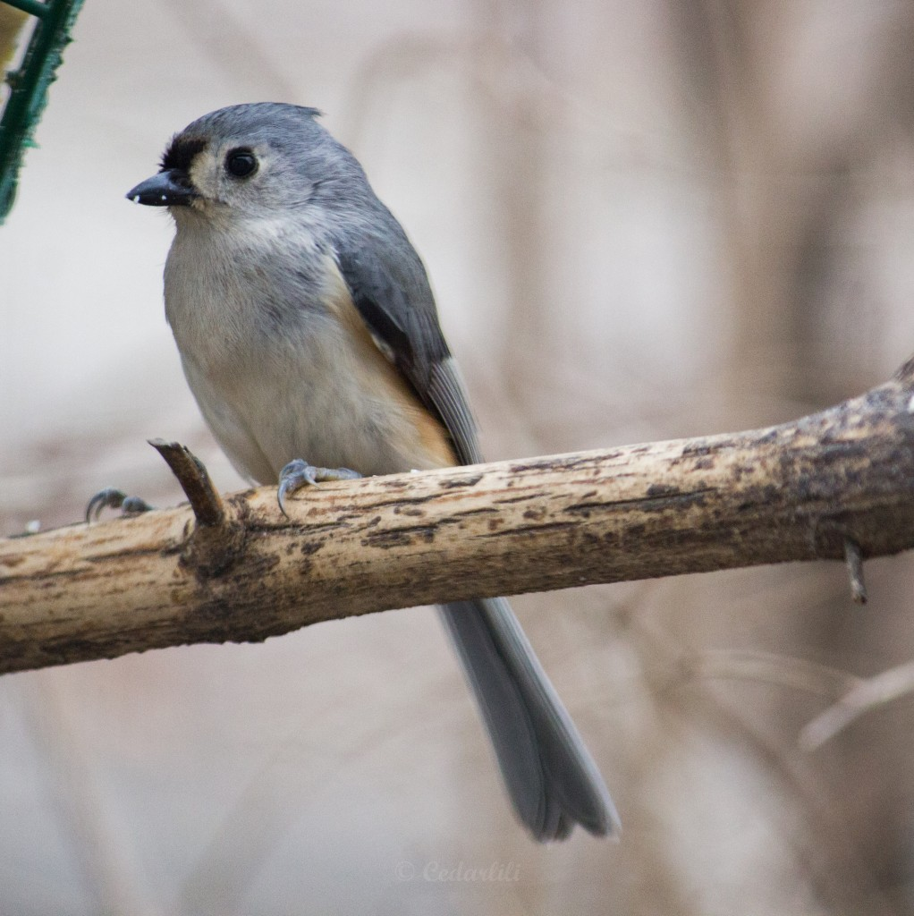 Tufted Titmouse, looking meek with his crest deflated.