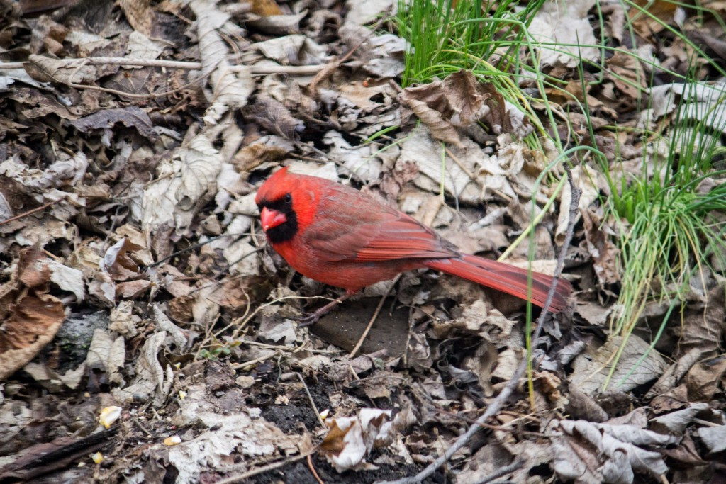 Mr Cardinal by the wild onions.