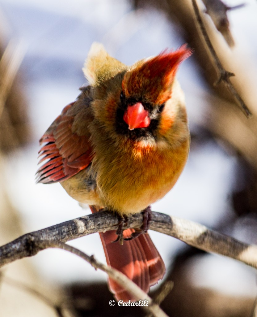 Female Cardinal in wind