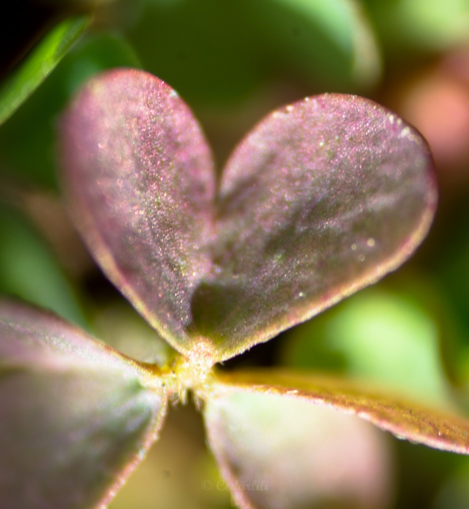 Heart-shaped leaf of an oxalis plant, at very high magnification using reverse-lens macro photography.