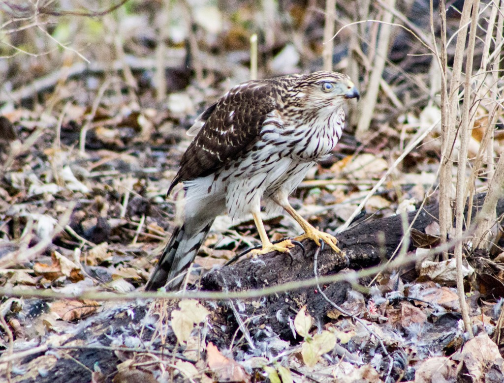 A juvenile Cooper's Hawk, he's been feeding on a starling.