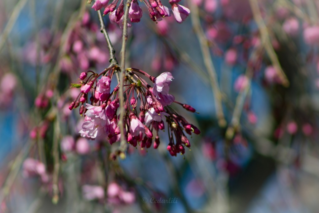 Weeping Cherry-3