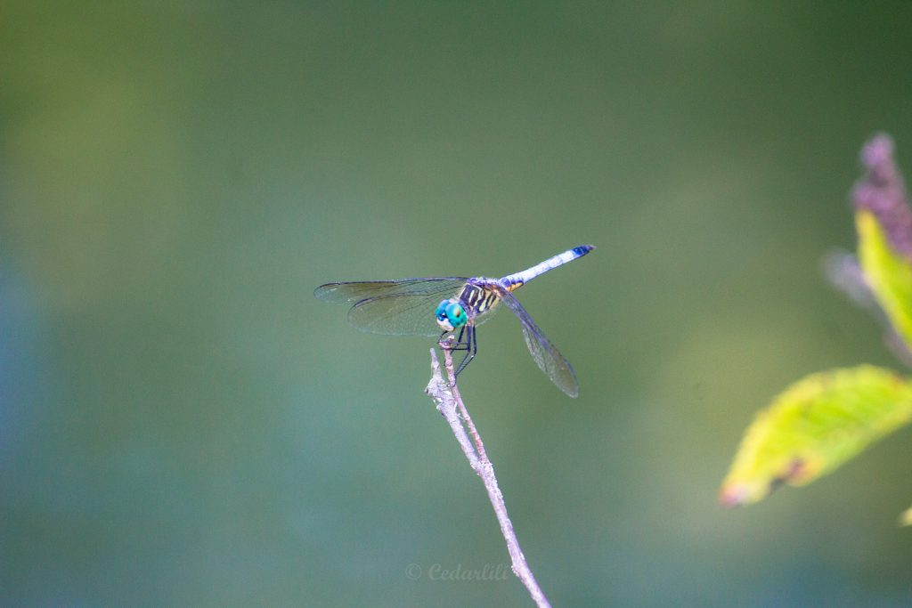 Ohio Dragonfly