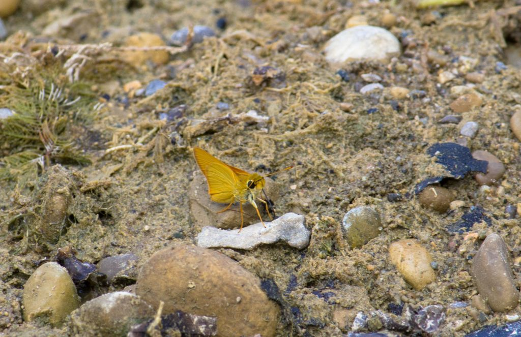 A Least Skipper (Ancyloxypha numitor) drinking in the moist margin of the pond.